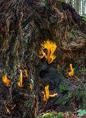 Goats beard mushroom - Calocera ciscosa