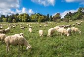 stock photo of swabian  - A flock of sheep eats in a meadow in late summer in the Swabian Alps - JPG