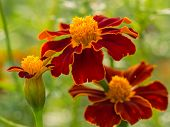 Trio Of Red And Yellow Flower