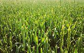 Green Barley Ears Field Early Summer. Green Background