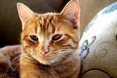 picture of yellow tabby  - Yellow tabby cat relaxing in the sunlight