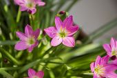 image of lillies  - Lilly flowers and green leaves on natural plant - JPG