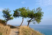 Three Pine Trees On A Hill On A Background Of The Aegean Sea