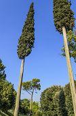 Pyramidal cypress trees