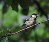 Great Tit Perched On A Branch.