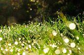 Morning Dew On Grass