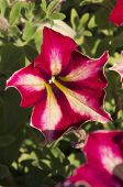 Striped Red Petunia
