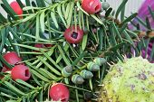 Yew Fruit, Taxus baccata
