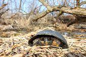 pic of endangered species  - The Blandings Turtle  - JPG