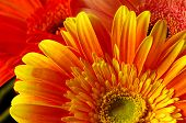 Beautiful Gerber Flowers