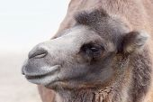 Camel Profile Portrait