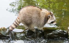 stock photo of raccoon  - Adult raccoon at a small stream Holland - JPG