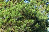 Green Spruce As Background