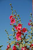 Rose flowerses