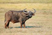 African or Cape buffalo (Syncerus caffer) in grassland, Addo National park, South Africa