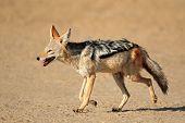 A black-backed Jackal (Canis mesomelas) running, Kalahari desert, South Africa