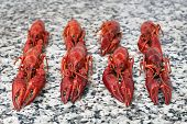 Red River Crayfish On Grey Worktop In Rows