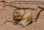 pic of tail  - Prairie dogs  - JPG