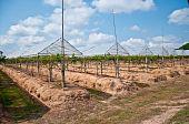 The Grape Plantations