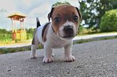 picture of jack russell terrier  - Puppy of Jack Russell Terrier is playing in garden - JPG