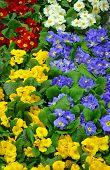 Colorful Winter Primroses