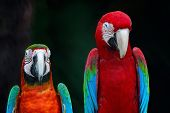 picture of harlequin  - Beautiful parrot bird Greenwinged Macaw and Harlequin Macaw in portrait profile