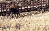 foto of marshes  - Alaskan moose seen wandering in Potter - JPG