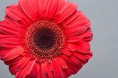 stock photo of gerbera daisy  - Gerbera Attention - JPG