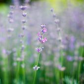 Lavender. The Nature