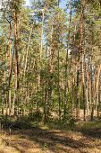 Pine Forest, Pinewood