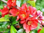 Red Flowers Of Barberry. Blossoming Spring