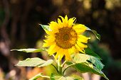 foto of heliotrope  - Wild Bright Sunflower backlit by setting sun - JPG