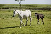 stock photo of foal  - a white Holstein mare with young foal in a pasture - JPG