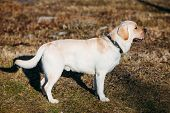 image of labradors  - Beautiful White Labrador Retriever Lab Dog Staying Outdoor In Spring - JPG