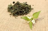 picture of nettle  - Fresh stinging nettle with white flowers and heap of dried nettle in background lying on jute canvas - JPG
