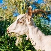 image of eat grass  - Goat Eating Camomiles On Green Meadow - JPG