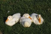pic of duck  - The white duckling sleeping together on the grass - JPG
