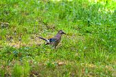 stock photo of blue jay  - Jay sits in the grass looking for food - JPG