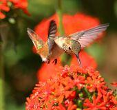 stock photo of maltese-cross  - A single Rufous Hummingbird feeding on red Maltese Cross flowers. ** Note: Shallow depth of field - JPG