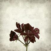 foto of geranium  - textured old paper background with dark red geranium - JPG