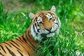 foto of tigress  - Amur Tigers on a geass in summer day - JPG