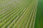 pic of apple orchard  - Aerial view on the large blooming apple orchard - JPG