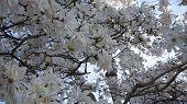 picture of dogwood  - Dogwood Flowers in bloom in Fairfield - JPG