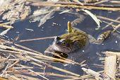 image of common  - Common frog  - JPG