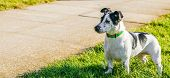 stock photo of jack russell terrier  - Jack Russell terrier dog in a park on grass - JPG