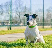 pic of jack russell terrier  - Jack Russell terrier dog in a park on grass. ** Note: Soft Focus at 100%, best at smaller sizes - JPG