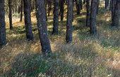 pic of pinus  - natural background of sun lit grasses btween the trunks of Pinus pinea Stone pine trees - JPG