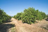 picture of orange-tree  - Orange trees in plantation - JPG
