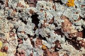 picture of lichenes  - Lichen Texture Pattern Background on the Floor - JPG