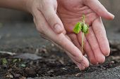 foto of tamarind  - Tamarind sprout in human hands shallow depth of field  - JPG